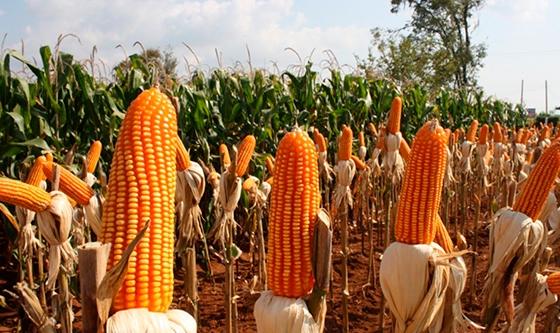Récord para la historia: tras 20 años, la producción de maíz superó a la de soja