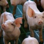 Hubo una actualización en la clasificación de los establecimientos de producción porcina