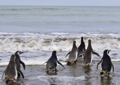El Puerto de Bahia Blanca acompañó la primera liberación de pingüinos en la región
