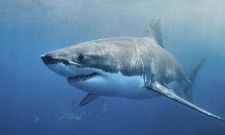 El INIDEP se reunió con la Asociación de Embarcaciones de Pesca Costera para abordar la conservación y manejo de rayas y tiburones