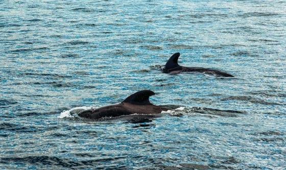 Puerto San Antonio: dos ballenas francas austral navegaron  a pocos metros de la costa