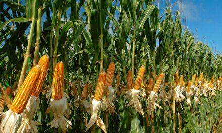 Agricultura suma nuevas herramientas para el monitoreo de cultivos de sorgo y maíz