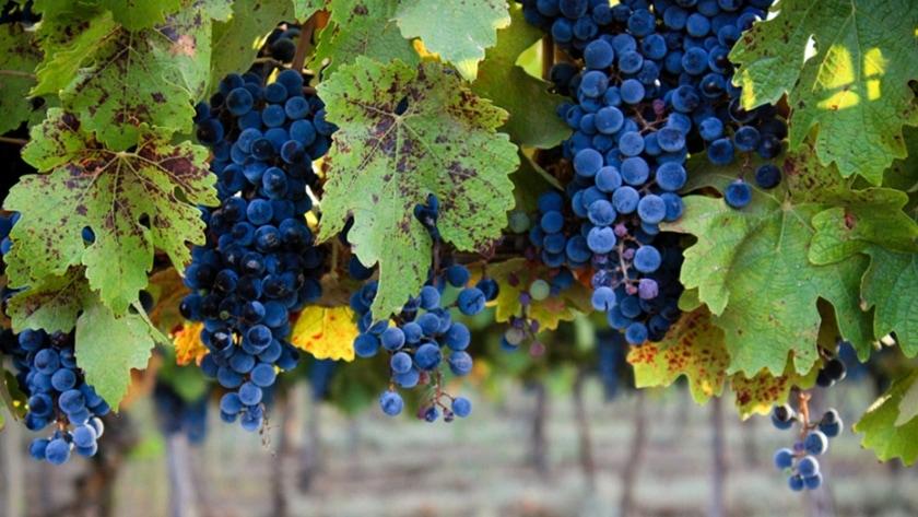 Se abre la inscripción en el SMI para productores de uva en fresco de Mendoza y San Juan