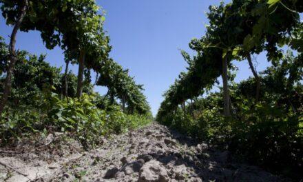 Prórroga de inscripción en el SMI de productores de uva en fresco de Mendoza y San Juan