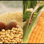 La campaña de maíz 2020/21 rompió la barrera de los 34 millones de toneladas
