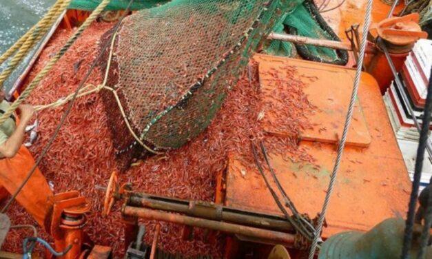 """La industria del langostino al límite: plantas de frío al borde de su capacidad y faltan contenedores """"reefer"""""""