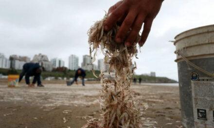 Cuál es la explicación de la arribazón de peisos petrunkevetchi en Playa Grande