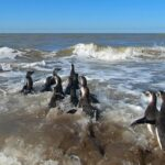 Devolvieron al mar a 14 pingüinos magallánicos rescatados en la costa bonaerense